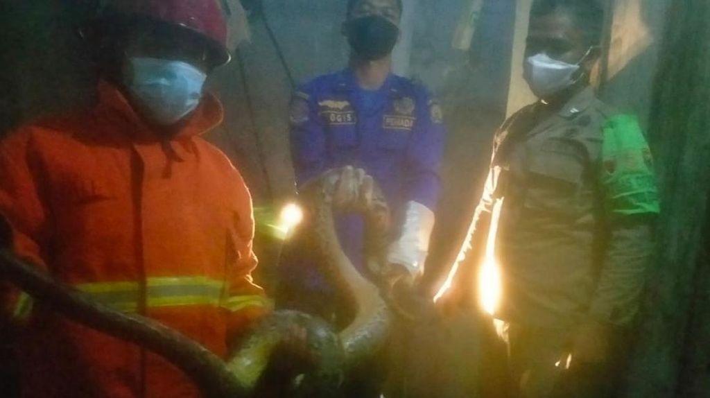Ular Piton 3 Meter Pemangsa Ternak Warga di Trenggalek Ditangkap