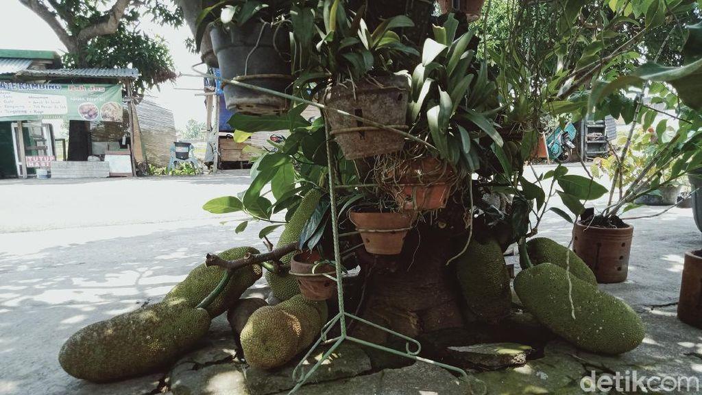 Pohon Cempedak di Klaten Ini Buahnya Puluhan hingga Nempel Tanah