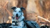 Selamatkan 100 Koala dari Kebakaran, Anjing Ini Dapat Penghargaan