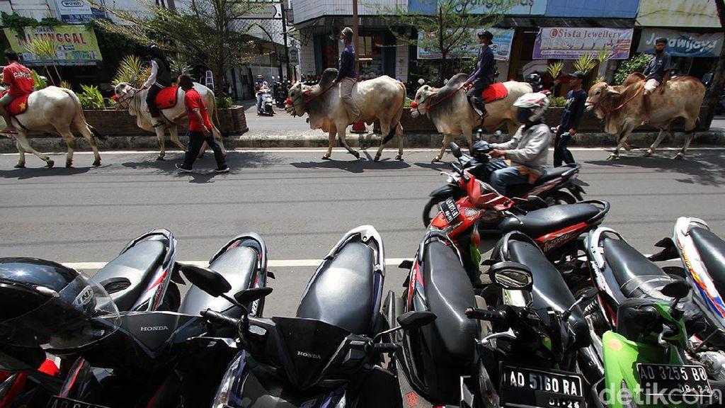 Ketika Sapi-sapi di Boyolali Ramaikan Jalan Protokol Kota Solo