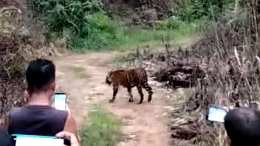 Gak Ada Takutnya! Warga Aceh Ramai-ramai Rekam Kemunculan Harimau dari Dekat