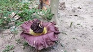 7 Bunga Bangkai Suweg Tumbuh di Pekarangan Warga Boyolali