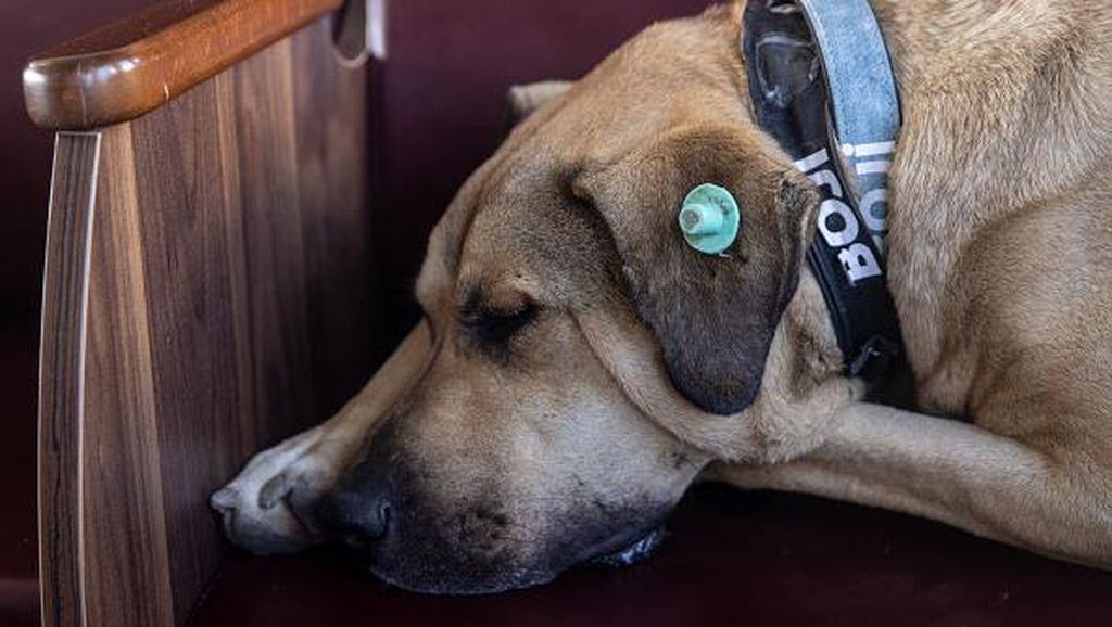 Heboh! Anjing di Pulau Banyak Aceh Mati Usai Diusir, Satpol PP Buka Suara