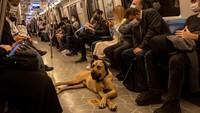 Ini Boji, Anjing di Turki yang Hobi Jalan-jalan Naik Transportasi umum