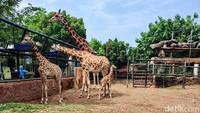 Lucu! Bayi Jerapah Lahir di Maharani Zoo Lamongan