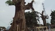 Konon, 2 Pohon Raksasa Ini Tempat Pangeran Diponegoro Tambatkan Kuda