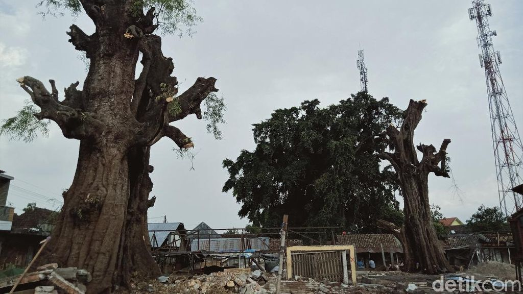Penampakan Pohon Asam Raksasa yang Ada di Tengah Pasar Klaten