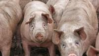 Makan Babi Haram, Apakah Menyentuhnya Juga Haram?