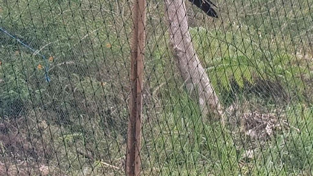 Kabar Gembira! TNG Ciremai Bakal Kedatangan 4 Elang dan 3 Kucing Hutan