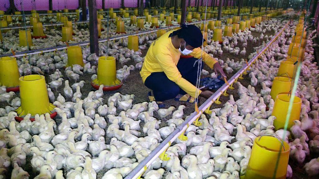 Di Pongkor Ada Peternakan Ayam Ramah Lingkungan, Seperti Apa Tuh?