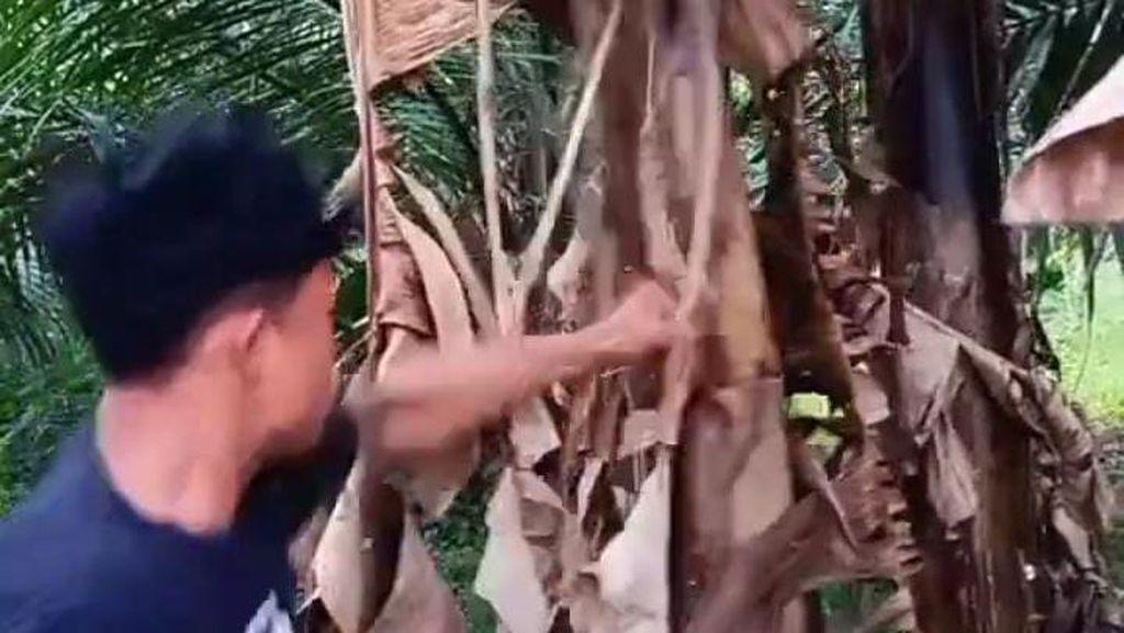 Pria Viral Pukul Pohon Pisang Salam dari Binjai Eks Atlet Tinju