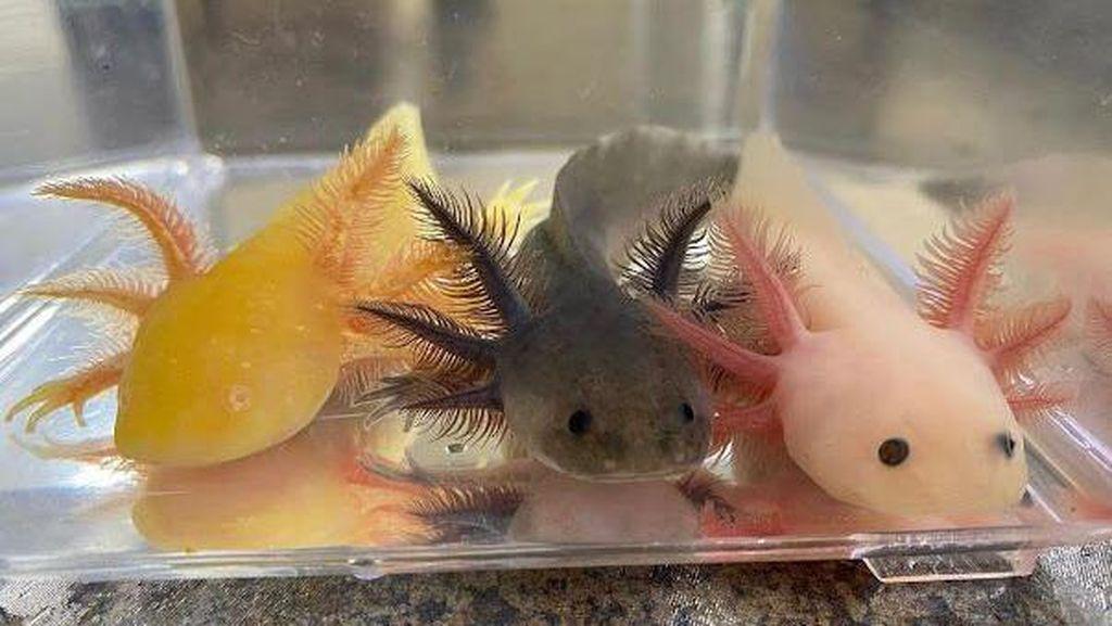 Mahasiswa Universitas Brawijaya Berhasil Budi Dayakan Ikan Langka Axolotl
