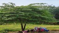 Tanaman Pohon Obat Penyerap Emisi Dukung RTH Jalan di Perkotaan