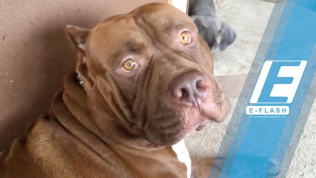 Tentang Pitbull, Anjing Penjaga yang Setia Pada Pemiliknya