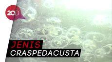 Melihat Ubur-ubur Langka yang Ditemukan di China