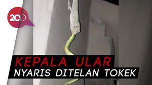 Kejadian Mengejutkan di Bali, Tokek Taklukkan Ular Viper