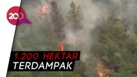 Si Jago Merah Serang Hutan di California