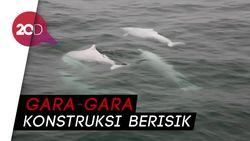 Jembatan Hong Kong-Cina Ancam Lumba-lumba Putih Cina