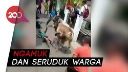 Warga Heboh Ada Sapi Kurban Ngamuk di Matraman