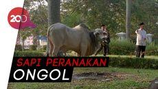 Ini Penampakan Sapi 1,4 Ton Milik Jokowi di Masjid Cibinong