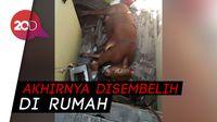 Ngamuk! Sapi di Bandung Ini Nyungsep ke Rumah Warga