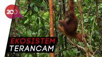 Keganasan Industri Sawit Ilegal di Hutan Kalimantan dan Papua
