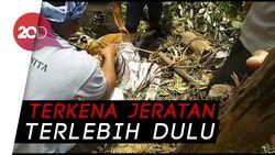 Bangkai Harimau Sumatera Ditemukan Tergantung di Hutan
