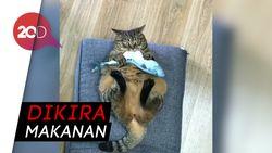 Ups Kecele! Kucing Gendut Ini Tertipu Bantal Ikan