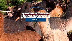 Kawasan Peternakan Ini Merupakan Penghasil Wol Terkemuka di Peru