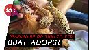 Leopard Gecko, Tokek Cantik Bikin Kaya Mendadak