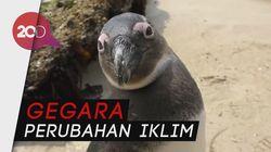 Tolong! Populasi Penguin Afrika Turun Drastis