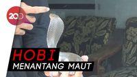 Greget Nih!  Pria di Jombang Pelihara 3 Ekor Ular Kobra