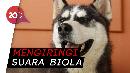 Viral! Nyanyian Anjing Ini Curi Perhatian Masyarakat