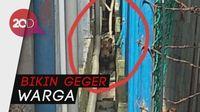 Waduh! Ada Harimau Main ke Ruko Pasar di Riau