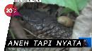 Heboh! King Kobra Mematung di Kebun Karet Kapuas