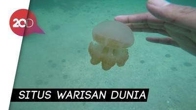 Melihat Ubur-ubur Tak Menyengat di Pulau Kakaban