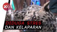Mangsa Kucing, Macan Dahan Ditangkap Warga Palangkaraya