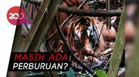 Evakuasi Harimau Sumatera yang Terjerat Kawat di Hutan Riau