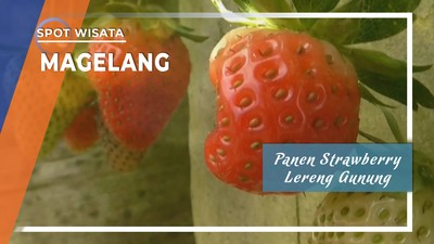 Panen Strawberry Lereng Gunung Merbabu