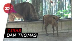 Melihat 3 Anak Bison yang Baru Lahir di Taman Safari Prigen