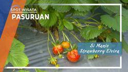Si Manis Strawberry Elvira Pasuruan