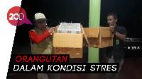 Penyelundupan Orangutan Digagalkan, 2 Pelaku Diamankan