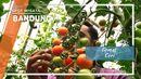 Tomat Ceri Bandung