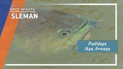 Budidaya Ikan Arwana Berbah Sleman