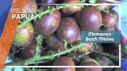 Panen Matoa Buah Manis dari Brazo Jayapura