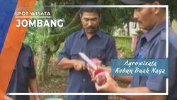 Buah Naga di Perkebunan Panglungan Wonosalam Jombang