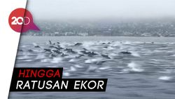Sekawanan Besar Lumba-lumba di Lepas Pantai California