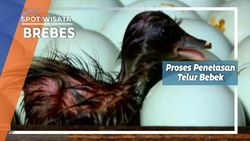 Proses Penetasan Telur Bebek Brebes