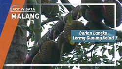 Gipat Durian Langka, Sang Juara Nasional dari Lereng Gunung Kelud, Malang
