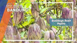 Pepino Ungu, Budidaya Tanaman Rambat Rancabali Kabupaten Bandung